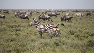 Serengeti Ndutu Plains 15.jpg