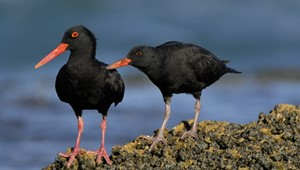 black oystercatcher adult and large chick soliciting.jpg