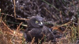 Black Harrier - incubating on nest.jpg